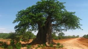 Baobab su una strada di Ilangali Manda, Tanzania