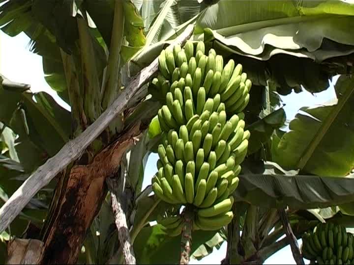 """""""In parole semplici e immediate, vedo che il banano è immagine visibile di Qualcuno invisibile e immenso che può essere solo Dio."""""""