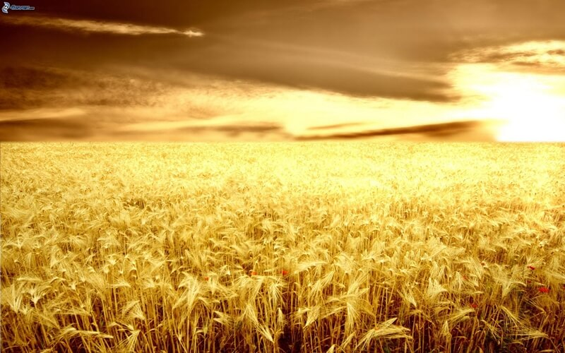 sunset-in-the-field-grain-field-wheat-field-dark-sky-193419